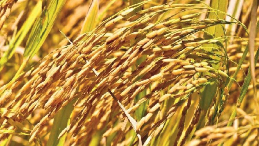 arroz-importação